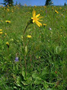 Homöopathie: Arnica montana gegen Schnittwunden, Verstauchung und Zahnschmerzen