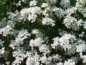 Bittere Schleifenblume Pflanze in der Natur. Aus der Pflanze wird das Globuli zur homöopathischen Behandlung hergestellt. Das Globuli wird in der Homöopathie bei Krankheiten wie Bluthochdruck, Herzbeschwerden und Reizdarm eingesetzt. Fotolia © adisa