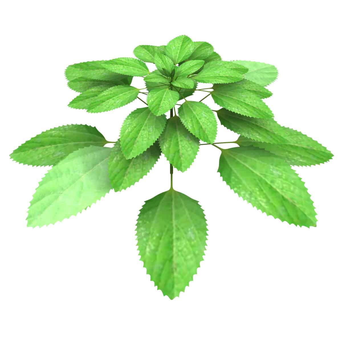 Erfahre mehr über Acalypha indica und seine heilende Wirkung bei Krankheiten wie Bronchitis, Hämoptoe und Krampfhusten. Fotolia © 7activestudio