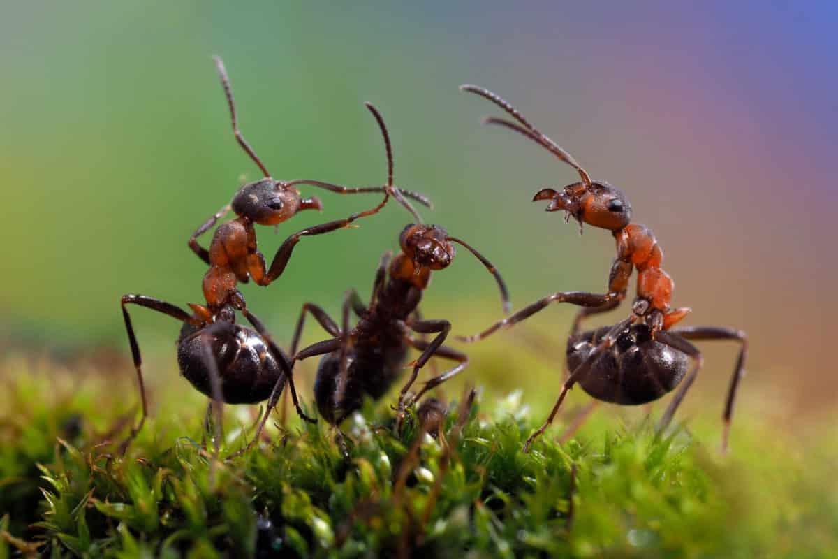Ameisensäure in der Natur. Aus dem Gift wird das Globuli zur homöopathischen Behandlung hergestellt. Das Globuli Acidum formicicum wird in der Homöopathie bei Krankheiten wie Allergien, Asthma und Nachtschweiß eingesetzt. Fotolia © kozorog