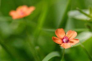 Erfahre mehr über die heilende Wirkung von Achergauchheil. Die Heilpflanze eignet sich vor allem zur Behandlung von Verstopfungen, Wunden und Zahnschmerzen. © digital-fineart