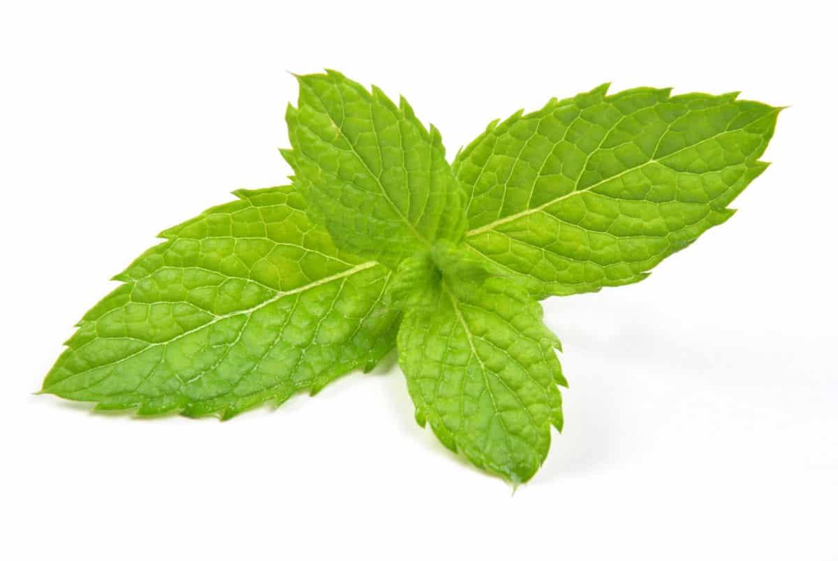 Erfahre mehr über die heilende Wirkung der Ackerminze. Die Heilpflanze eignet sich vor allem zur Behandlung von Erkältungen, Schnupfen und Migräne. © Studio7192