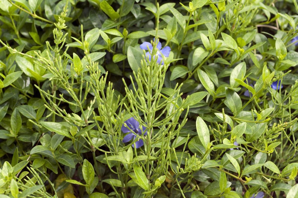 Erfahre mehr über die heilende Wirkung des Ackerschachtelhalms. Die Heilpflanze eignet sich vor allem zur Behandlung von Blasenschwäche, Blutungen und Krampfadern. © emer