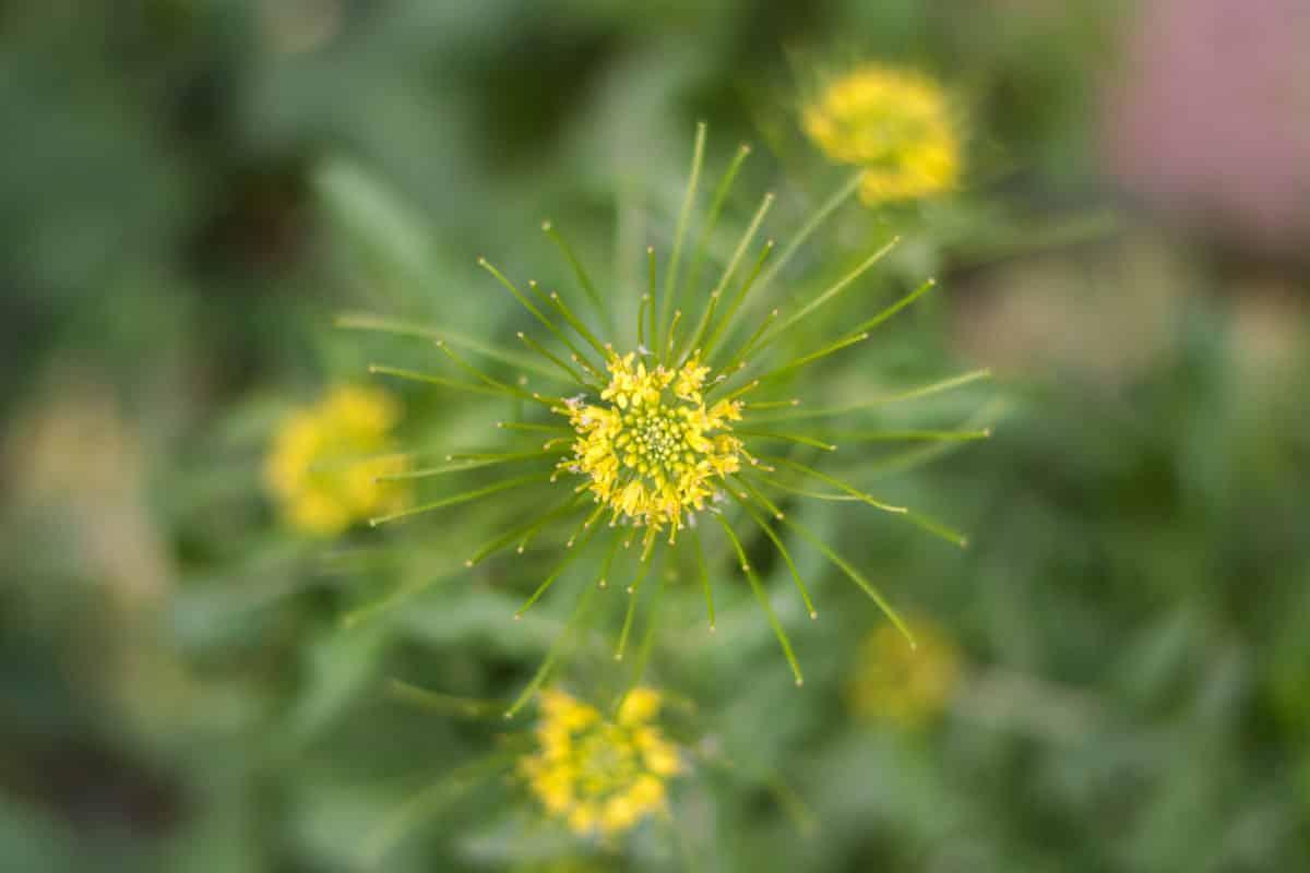 Erfahre mehr über die heilende Wirkung des Ackerschotendotters. Die Heilpflanze eignet sich vor allem zur Behandlung von Hautausschlägen, Krampfhusten und Würmern. © Mariia Nazarova