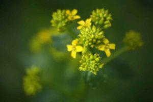Erfahre mehr über die heilende Wirkung von Ackersenf. Die Heilpflanze eignet sich vor allem zur Behandlung von Entzündungen, Hexenschuss und Verpsannungen. © Martina Berg