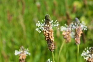 Erfahre mehr über die heilende Wirkung von Adelgras. Die Heilpflanze eignet sich vor allem zur Behandlung von Bronchitis, Kopfschmerzen und Durchfall. © paulst15