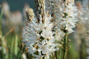 Erfahre mehr über die heilende Wirkung von Affodill. Die Heilpflanze eignet sich vor allem zur Behandlung von Wunden und Hautproblemen. © Berty