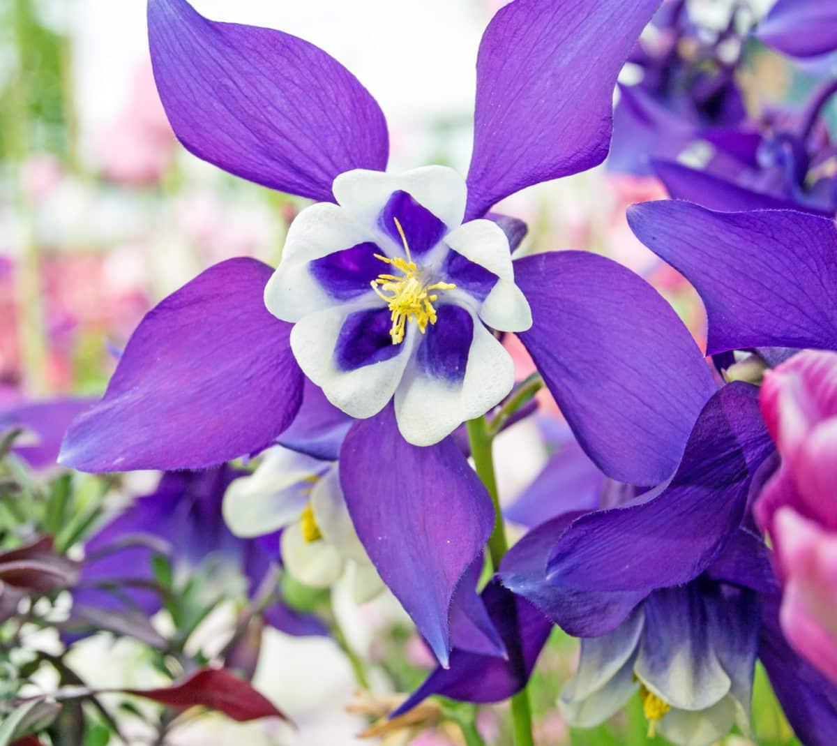Erfahre mehr über die heilende Wirkung der Akelei. Die Heilpflanze eignet sich vor allem zur Behandlung von Appetitlosigkeit, Rheuma und Läusen. © doris oberfrank-list