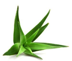 Aloe Globuli in der Homöopathie