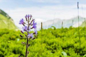 Erfahre mehr über die heilende Wirkung des Alpen-Milchlattich. Die Heilpflanze eignet sich vor allem zur Behandlung von Entzündungen und Hauterkrankungen. © gubernat