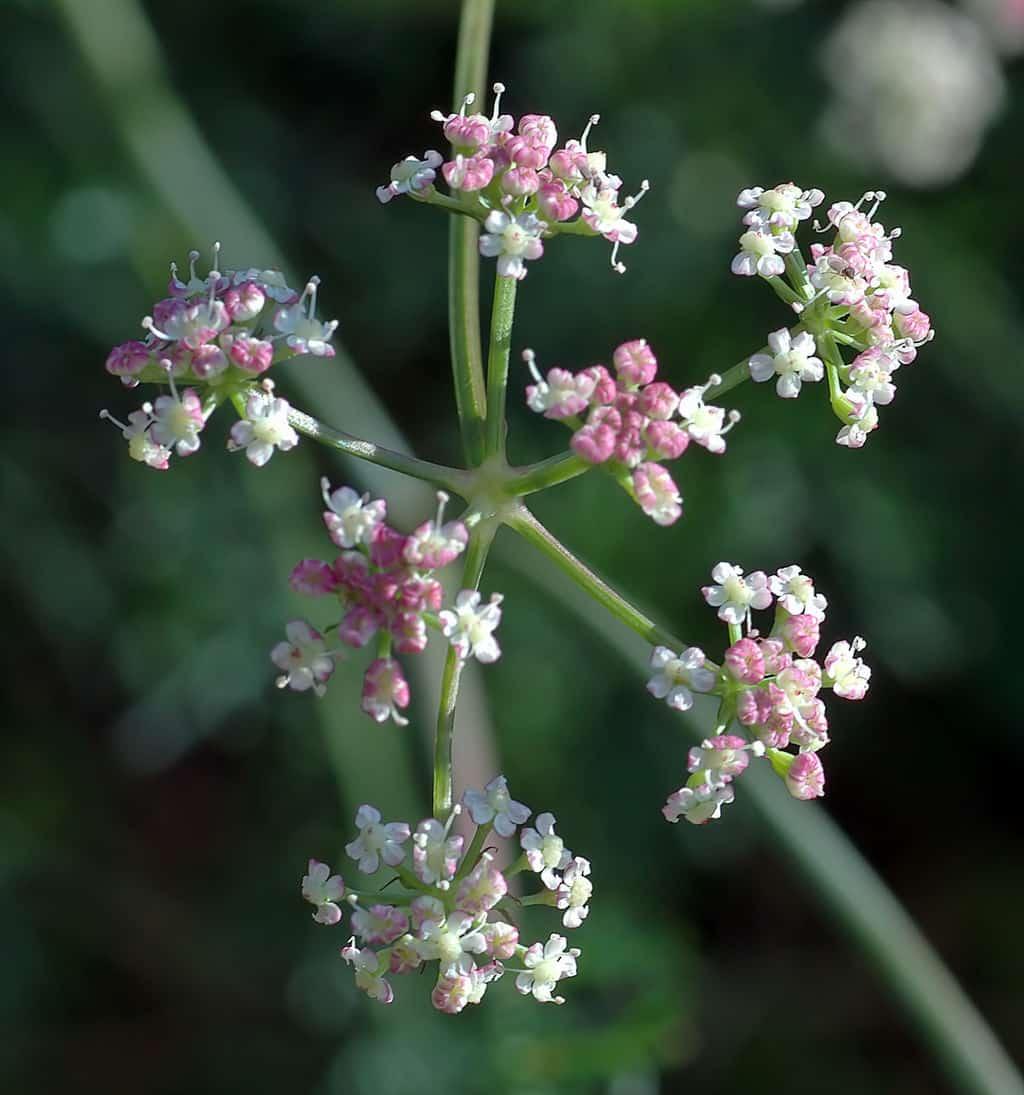 Erfahre mehr über die heilende Wirkung des Alpenmutterwurz. Die Heilpflanze eignet sich vor allem zur Behandlung von Blähungen, Gicht und Migräne. © wikipedia
