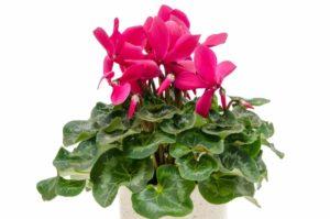 Erfahre mehr über die heilende Wirkung des Alpenveilchens. Die Heilpflanze eignet sich vor allem zur Behandlung von Gicht, Rheuma und Schmerzen. © womue