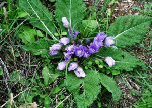Erfahre mehr über die heilende Wirkung der Alraune. Die Heilpflanze eignet sich vor allem zur Behandlung von Asthma, Bronchitis und Depressionen. © kbel