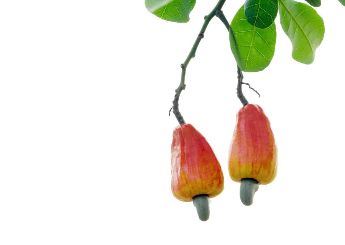 Malakkanuss in der Natur. Aus der Frucht wird das Globuli zur homöopathischen Behandlung hergestellt. Das Globuli Anacardium wird in der Homöopathie bei Krankheiten wie Aufstossen. Erbrechen und Verstopfung eingesetzt. Fotolia © ณัฐวุฒิ เงินสันเทียะ