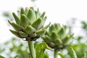 Heilpflanze Cynara scolymus L. in der Natur. Aus den Bestandteilen der Heilpflanze (Blätter. Wurzeln und Samen) können ätherische Öle, Gerbstoffe und Flavonoide gewonnen werden. Diese werden bei Krankheiten wie Blähungen, Diabetes und Übelkeit eingesetzt. © Aurelio Wieser