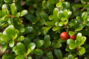 Erfahre mehr über die heilende Wirkung der Bärentraube. Die Heilpflanze eignet sich vor allem zur Behandlung von Blasensteine, Bettnässen und Blasenentzündungen. © USantos