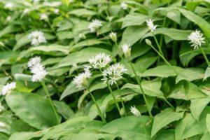 Erfahre mehr über die heilende Wirkung vom Bärlauch. Die Heilpflanze eignet sich vor allem zur Behandlung von Bluthochdruck, Durchfall und Verdauungsstörungen. © Cora Müller