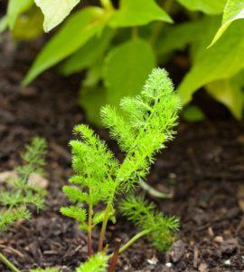 Erfahre mehr über die heilende Wirkung der Bärwurz. Die Heilpflanze eignet sich vor allem zur Behandlung von Gicht, Stress und Verdauungsstörungen. © mica