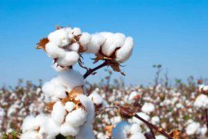 Baumwollpflanze gegen Wechseljahrsbeschwerden