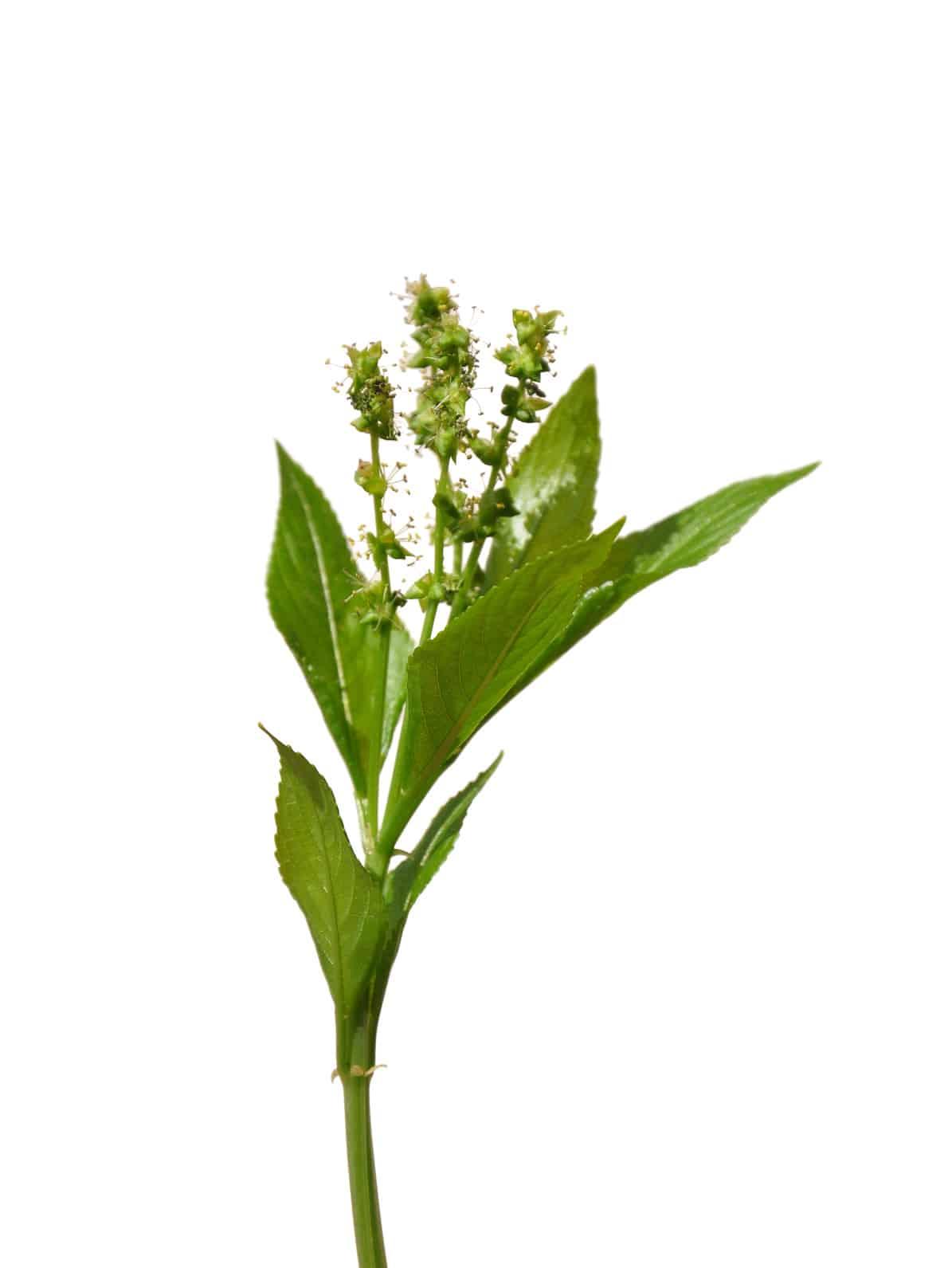 Erfahre mehr über die heilende Wirkung des Bingelkrauts. Die Heilpflanze eignet sich vor allem zur Behandlung von Bronchitis, Husten und Gicht. © Alois