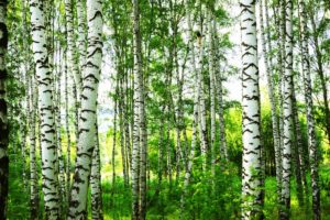 Erfahre mehr über die heilende Wirkung der Birke. Die Heilpflanze eignet sich vor allem zur Behandlung von Gicht, Rheumatismus und Hautproblemen. © janbussan