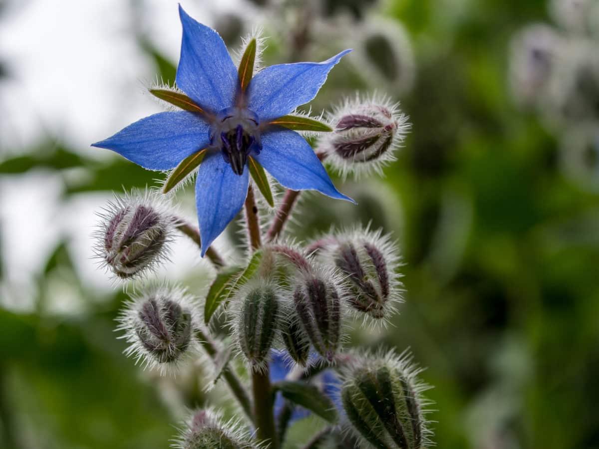 Erfahre mehr über die heilende Wirkung von Boretsch. Die Heilpflanze eignet sich vor allem zur Behandlung von Depressionen, Bluthochdruck und Gicht. © focus finder