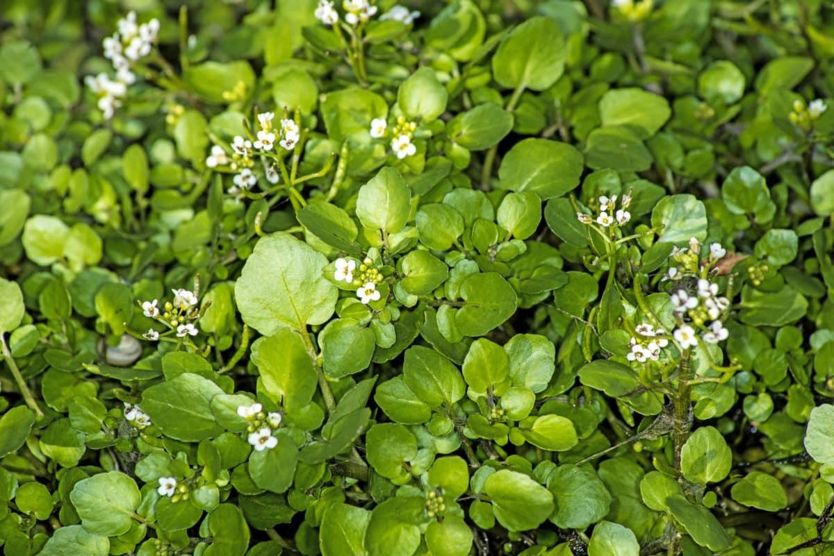 Erfahre mehr über die heilende Wirkung der Brunnenkresse. Die Heilpflanze eignet sich vor allem zur Behandlung von Bronchitis, Husten und Erkältung. © hjschneider
