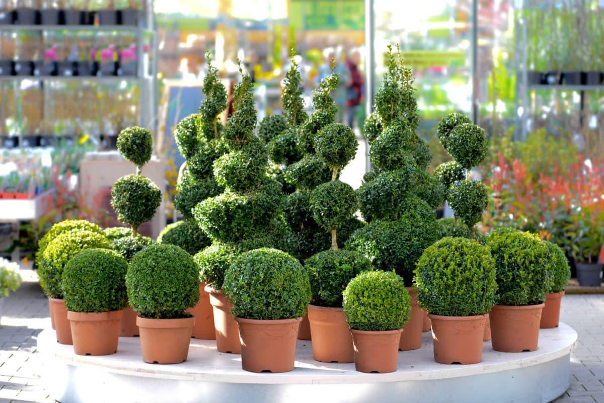 Erfahre mehr über die heilende Wirkung des Buchsbaums. Die Heilpflanze eignet sich vor allem zur Behandlung von Fieber, Gicht und Rheuma. © Stefan Körber