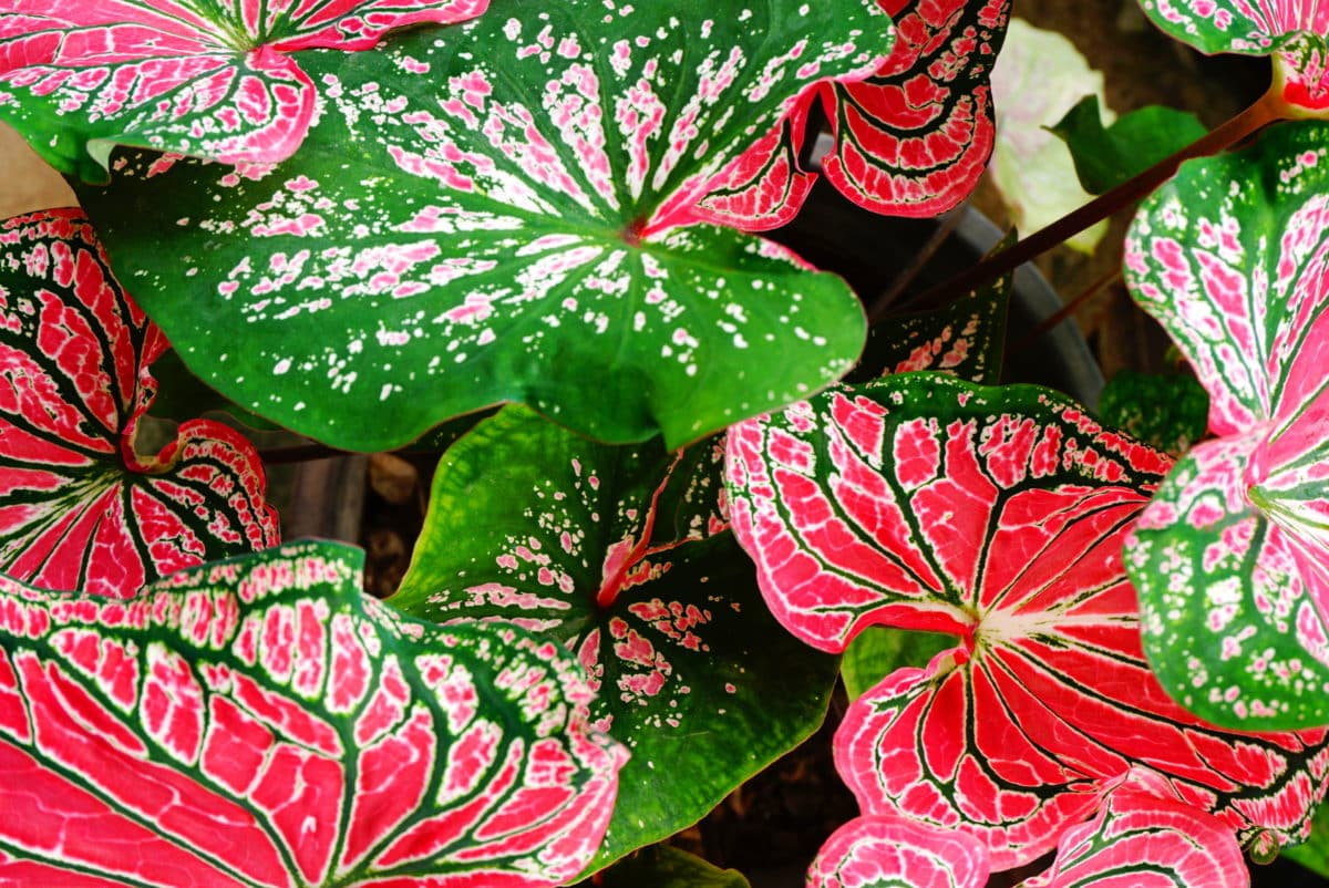 Schweigrohr in der Natur. Aus der Pflanze wird das Globuli zur homöopathischen Behandlung hergestellt. Das Globuli Caladium seguinum wird in der Homöopathie bei Krankheiten wie Juckreiz, Scheidenentzündung und Wundsein eingesetzt. Fotolia © doucefleur
