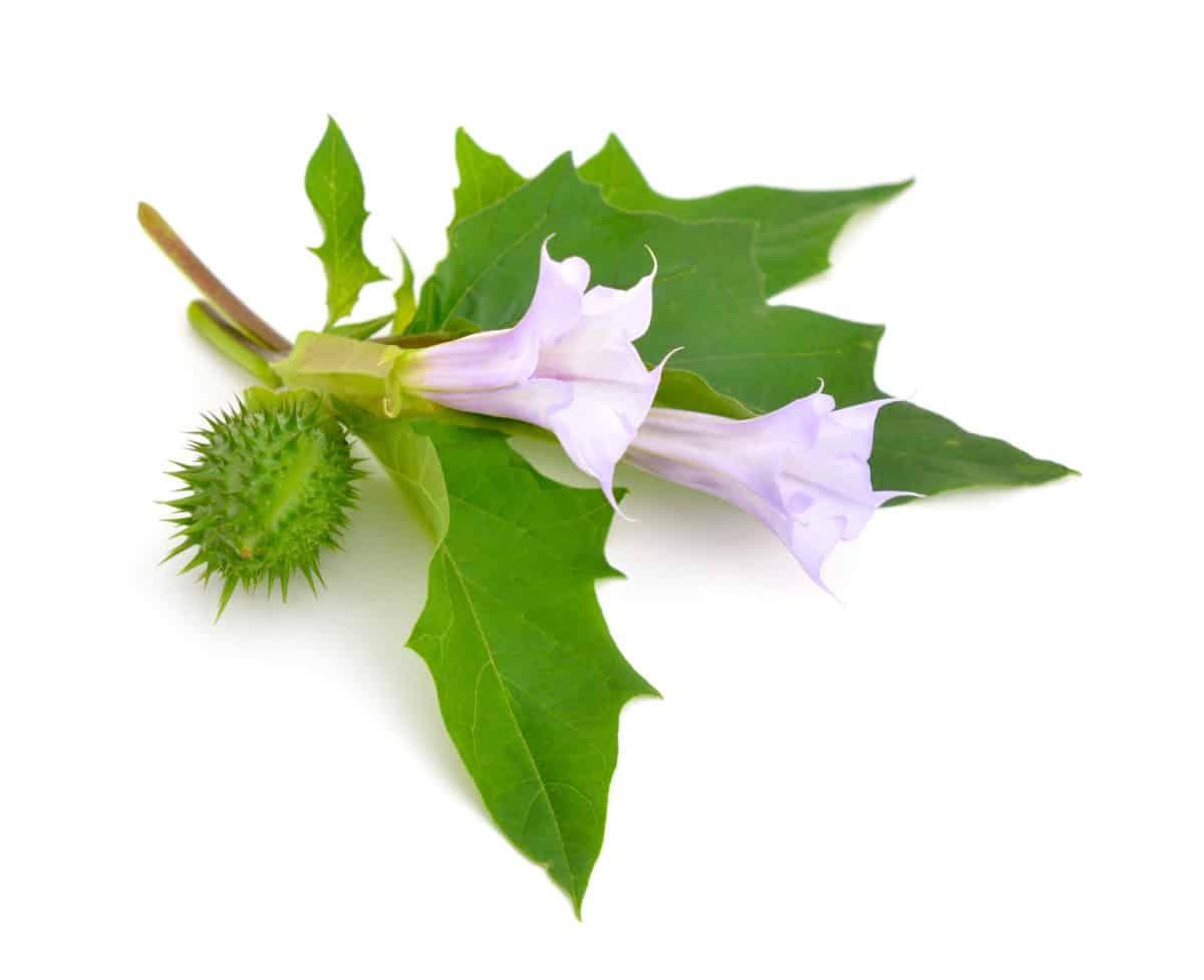 Gemeiner Stechapfel in der Natur. Aus der Pflanze wird das Globuli zur homöopathischen Behandlung hergestellt. Das Globuli Datura Stramonium wird in der Homöopathie bei Krankheiten wie Halsschmerzen, Kopfschmerzen und Menstruationsbeschwerden eingesetzt. Fotolia © spline_x