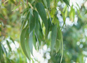 Heilpflanze Eucalyptus globulus in der Natur. Aus den Bestandteilen der Heilpflanze (Blätter. Wurzeln und Samen) können ätherische Öle, Gerbstoffe und Flavonoide gewonnen werden. Diese werden bei Krankheiten wie Asthma, Bronchitis und Husten eingesetzt. © janaph