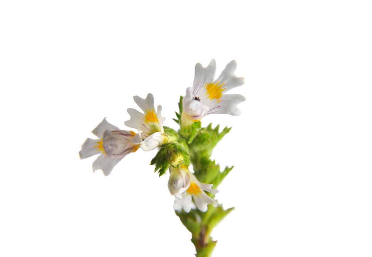 Erfahre mehr über Euphrasia officinalis und die heilende Wirkung bei Krankheiten wie Augenprobleme, Heuschnupfen und Schnupfen. Fotolia © Alois