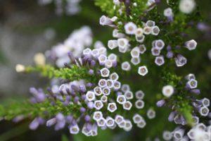 Erfahre mehr über die heilende Wirkung des Fabiankrauts. Die Heilpflanze eignet sich vor allem zur Behandlung von Würmern und Blasenentzündungen. © Feng Yu