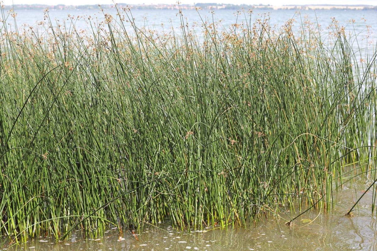 Erfahre mehr über die heilende Wirkung der Flatterbinse. Die Heilpflanze eignet sich vor allem zur Behandlung von Leberbeschwerden und Gallenbeschwerden. © Konrad Weiss