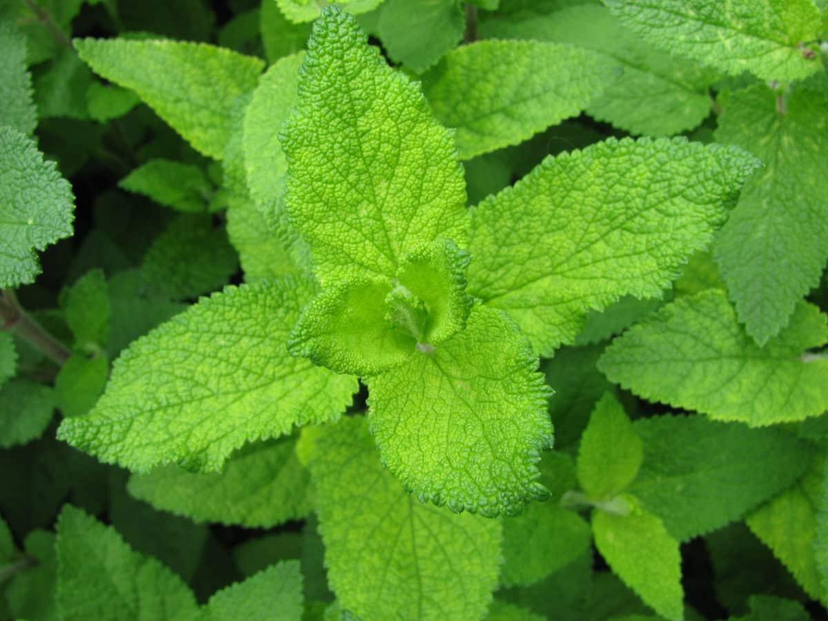 Erfahre mehr über die heilende Wirkung des Gamanders. Die Heilpflanze eignet sich vor allem zur Behandlung von Asthma, Bronchitis und Husten. © katharinarau