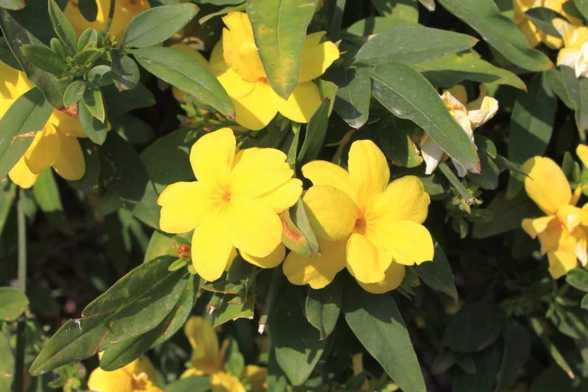 Gelber Jasmin in der Natur. Aus der Pflanze wird das Globuli zur homöopathischen Behandlung hergestellt. Das Globuli Gelsemium sempervirens wird in der Homöopathie bei Krankheiten wie Fieber, Kopfschmerzen und Lampenfieber eingesetzt. Fotolia © sheftime