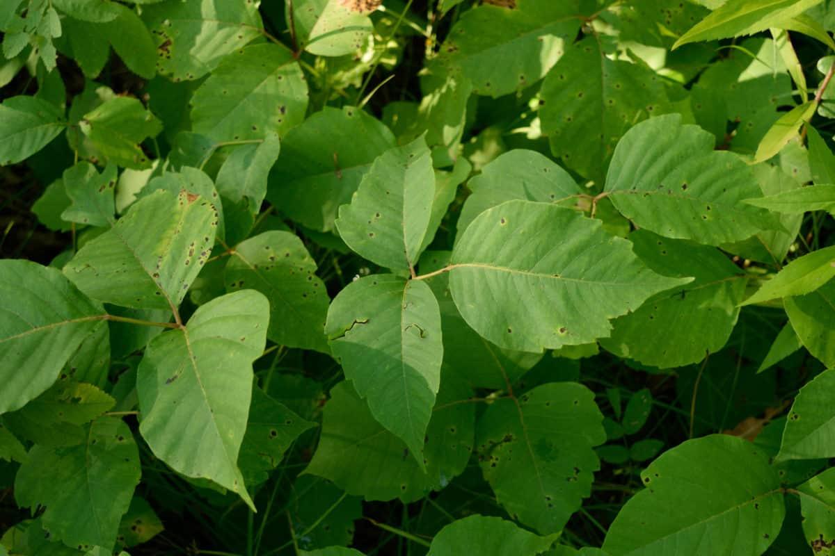Erfahre mehr über die heilende Wirkung von Giftefeu. Die Heilpflanze eignet sich vor allem zur Behandlung von Hexenschuss, Ischias und Rheuma. © clubhousearts