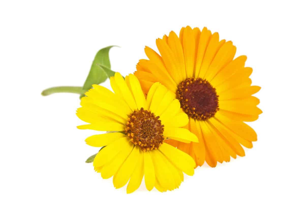 Die Acker Ringelblume ist vielseitig einsetzbar und hilft dir unter anderem bei der Behandlung von Angstzuständen, Brechreiz und Pickeln. © domnitsky