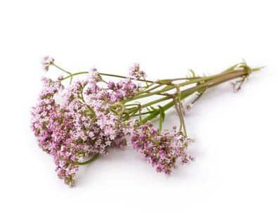 Erfahre mehr über die heilende Wirkung von Baldrian. Die Heilpflanze eignet sich vor allem zur Behandlung von Magenkrämpfen, Gastritis und Darmbeschwerden. © katharinarau