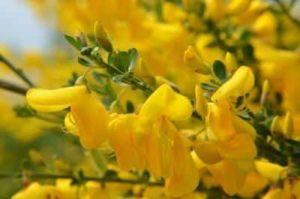 Erfahre mehr über die heilende Wirkung von Besenginster. Die Heilpflanze eignet sich vor allem zur Behandlung von Herzrhytmusstörungen. © alisseja