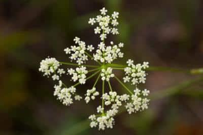 Erfahre mehr über die heilende Wirkung der Bibernelle. Die Heilpflanze eignet sich vor allem zur Behandlung von Asthma, Heiserkeit und Nierensteine. © Anton