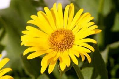 Erfahre mehr über die heilende Wirkung von Arnika. Die Heilpflanze eignet sich vor allem zur Behandlung von Halsschmerzen, Mandelentzündungen und Erkältungen. © chiarafornasari