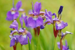 Iris versicolor Globuli in der Homöopathie