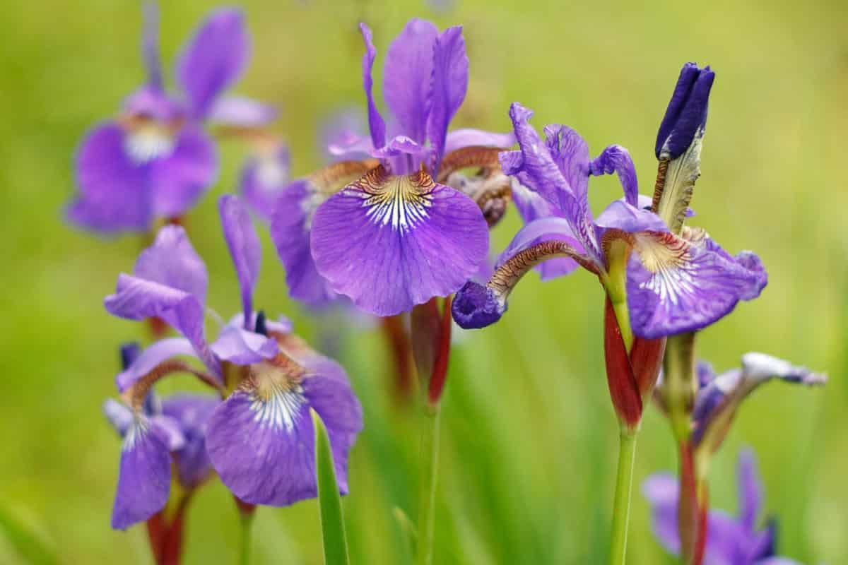 Erfahre mehr über Iris versicolor und die heilende Wirkung bei Krankheiten wie Durchfall, Erbrechen und Sodbrennen. Fotolia © Viliam