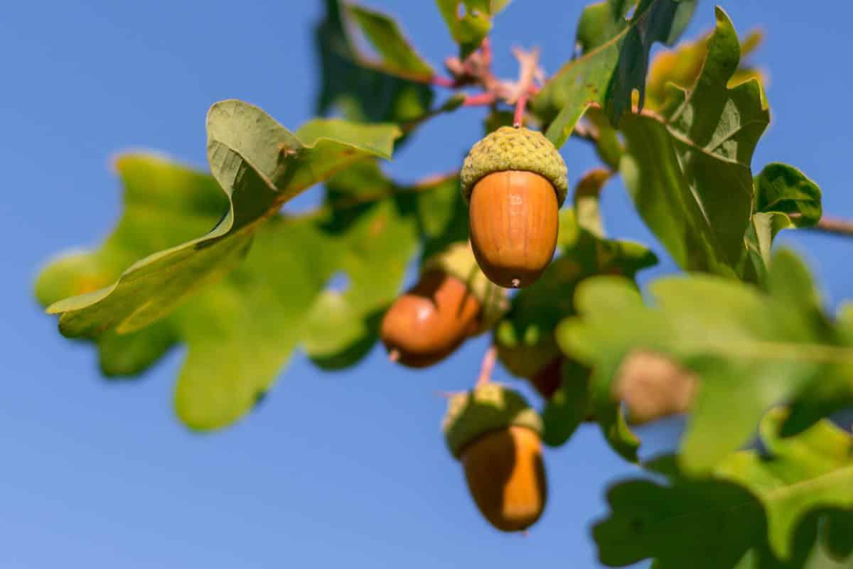 Erfahre mehr über Quercus e glandibus und die heilende Wirkung bei Krankheiten wie Leberschwäche, Schwindel und Tinnitus. Fotolia © mirkograul