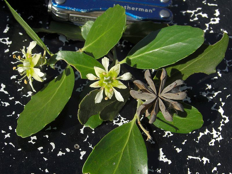 Quillaja in der Natur. Aus der Pflanze wird das Globuli zur homöopathischen Behandlung hergestellt. Das Globuli Quillaya saponaria wird in der Homöopathie bei Krankheiten wie Erkältung, Halsentzündung und Schnupfen eingesetzt. © wikipedia