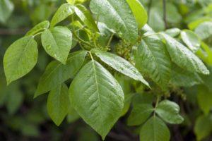 Rhus toxicodendron Globuli in der Homöopathie
