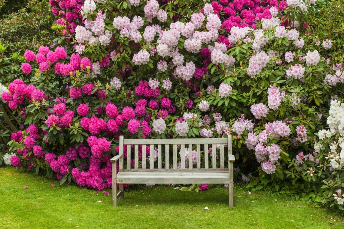 Erfahre mehr über Rhododendron und die heilende Wirkung bei Krankheiten wie Neuralgien, Rheuma und Wetterfühligkeit. Fotolia © Debu55y