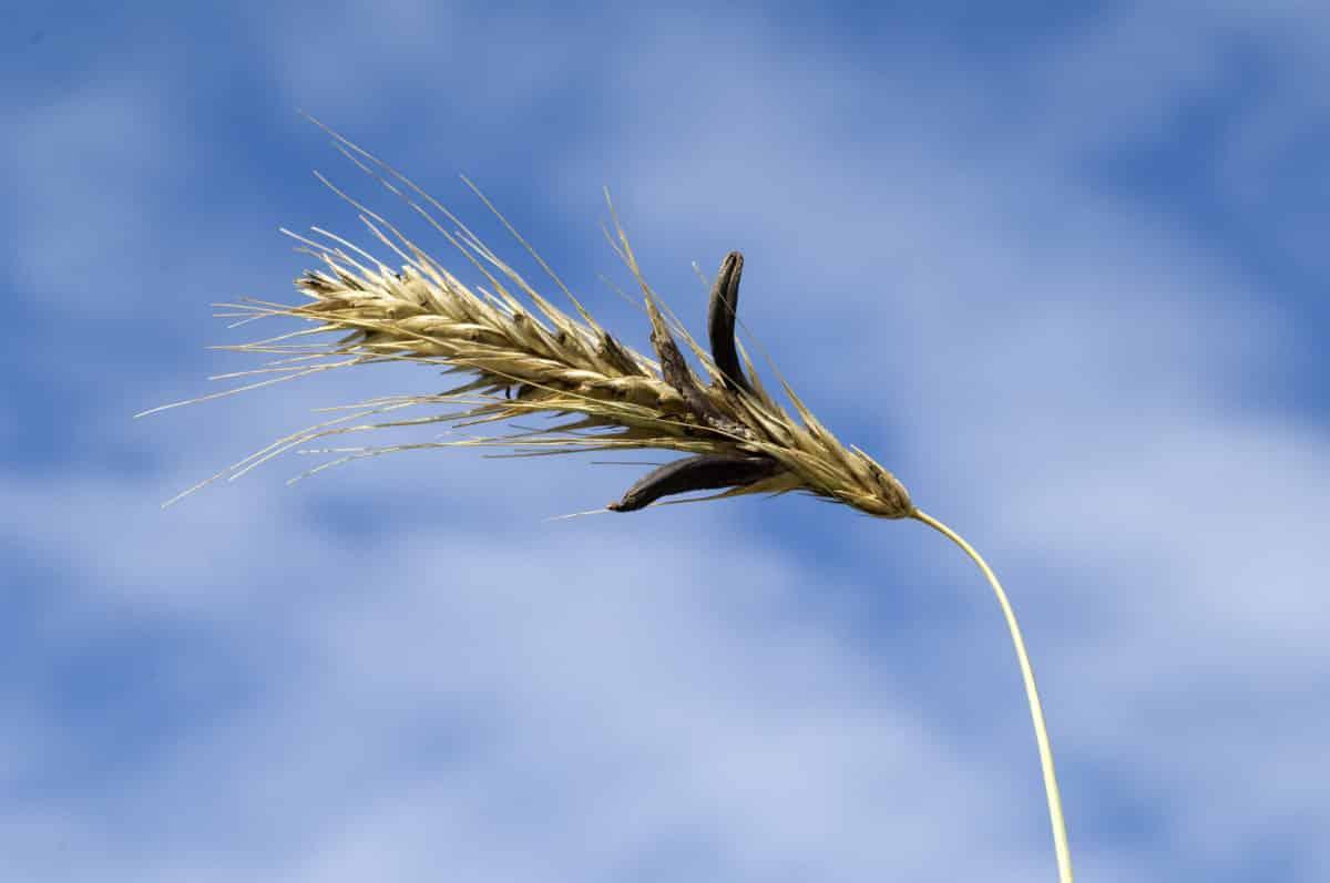 Mutterkorn in der Natur. Aus der Pflanze wird das Globuli zur homöopathischen Behandlung hergestellt. Das Globuli Secale cornutum wird in der Homöopathie bei Krankheiten wie Ameisenlaufen, Durchblutungsstörungen und Schmerzen eingesetzt. Fotolia © emer