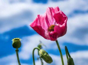 Opium Globuli in der Homöopathie